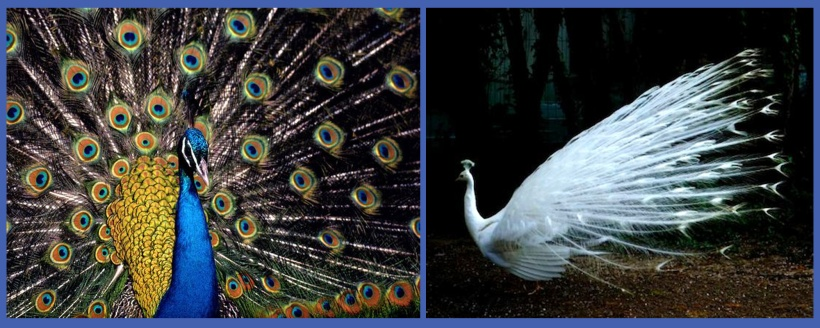 peacock_bluegreen_albinowhite